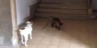 Αυτό και εάν είναι παράξενο -  Γάτα βγάζει βόλτα τον σκύλο
