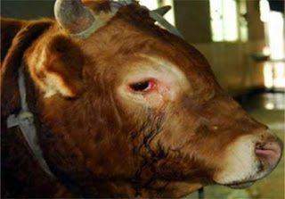 Πραγματική ιστορία: Το κλάμα ενός ταύρου πριν οδηγηθεί στο σφαγείο