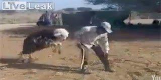 Όταν η κατσίκα εκδικείται τον σκληρό αφεντικό της (video)