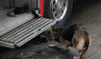 Στην Χιλή, η σκυλίτσα την οποία αποκαλούν Amanda