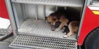 Συγκινητικό περιστατικό με σκυλίτσα – Έσωσε τα μικρά της από τη φωτιά ( pics)
