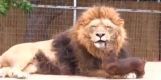 Σε ζωολογικό κήπο το λιοντάρι ερωτεύτηκε έναν σκύλο