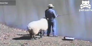 Αστείο video: Ο χαλαρός ψαράς και το πρόβατο