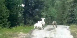 Ο λύκος που τρόμαξε από την προβατίνα