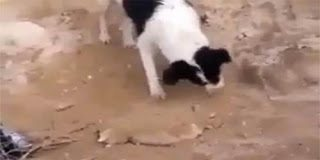 Σκύλος θάβει το νεκρό κουταβάκι του
