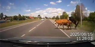 Αγελάδα έπεσε πάνω σε αυτοκίνητο