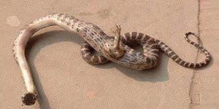 Κίνα- Βρέθηκε φίδι με πόδια!
