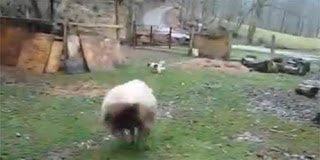Το πιο απίστευτο video: Πρόβατο παίζει κυνηγητό με τον σκύλο