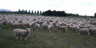 Αχ Έλληνες! Και τα πρόβατα πια διαμαρτύρονται – Video
