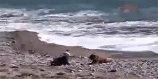 Απίστευτο video -  Σκύλος σώζει μωρό που κατευθύνεται προς την θάλασσα
