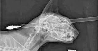 Γάτα χτυπήθηκε με βέλος στο κεφάλι και επέζησε
