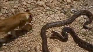 Σοκαριστικό video – Τεράστιο φίδι επιτίθεται σε λιοντάρι...