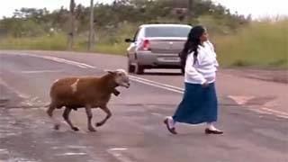Δείτε την κατσίκα που τρομοκράτησε ολόκληρη την πόλη.. . video