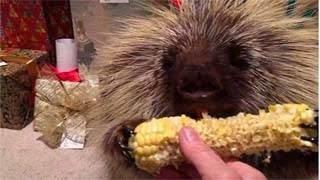 Σκαντζόχοιρος τρώει καλαμπόκι και μάλιστα το απολαμβάνει