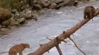 Η κραυγή της μάνας: Αρκουδάκι VS λιοντάρι