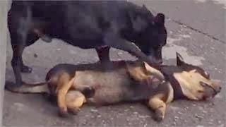 Συγκινητικό video: Σκύλος προσπαθεί να ξυπνήσει τον νεκρό του φίλο