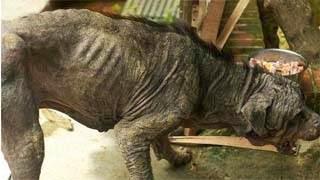Δείτε την απίστευτη μεταμόρφωση ενός εγκαταλειμμένου Rottweiler