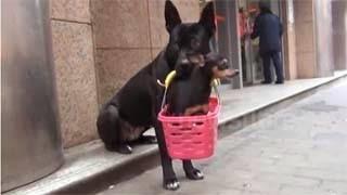 Το σκυλάκι που μεταφέρει τον τραυματισμένο φίλο του καθημερινά