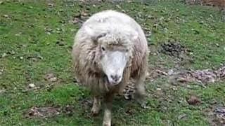 Δείτε το πρόβατο που νομίζει πως είναι σκύλος