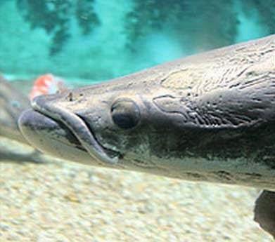 Ψάρια - Γίγαντες