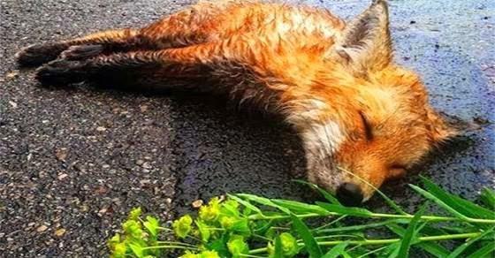 Ένας νεαρός βρήκε στο δρόμο μια νεκρή αλεπού