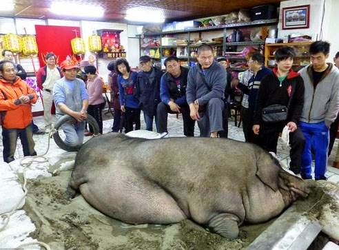 το πιο βαρύ γουρούνι