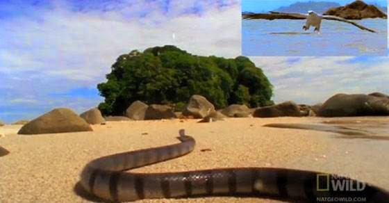 video: Αετός εναντίον θαλάσσιου φιδιού