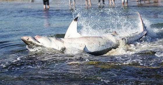 Καρχαρίας στραβοκατάπιε θαλάσσιο λέοντα και πνίγηκε