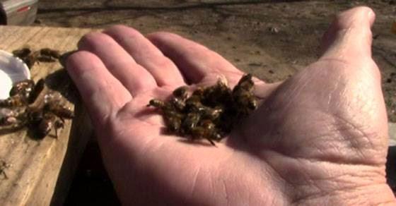 Δείτε με τι τρόπο σκοτώνουν οι μέλισσες τη βασίλισσά τους