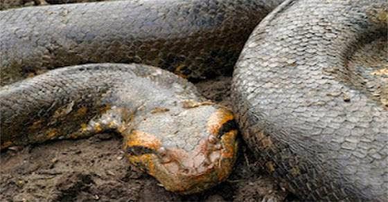 Τρόμος με το μεγαλύτερο φίδι του πλανήτη