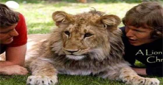 Μεγάλωσαν ένα λιοντάρι και… Το video