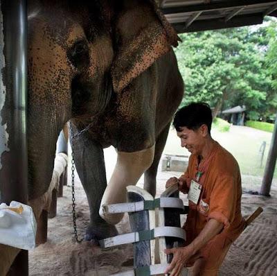 Ελέφαντας έχασε το πόδι του καθώς πάτησε σε νάρκη
